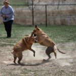 dogs fighting at a dog park