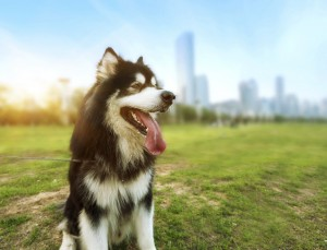 The Heat on the Street: Summer Safety for Urban Pets
