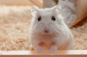 Furry And Small, These 10 Best Rodents Make Great Pets